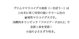 【花苗】プリムラマラコイデス黄萌〜きぼう〜