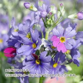 【花苗】プリムラマラコイデス湖畔の夢