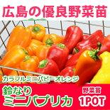 野菜苗ピーマン鈴なりパプリカカラフルミニパピーオレンジ苗1POT【予約苗】【納期指定不可】