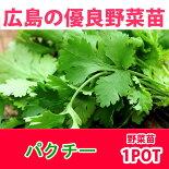 野菜苗パクチーコリアンダー苗1POT【予約苗】【納期指定不可】