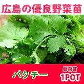 野菜苗パクチーコリアンダー苗