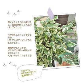 【観葉植物】ベンジャミンニコル