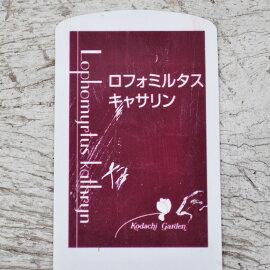 【常緑低木】ロフォミルタスキャサリン【カラーリーフトリカラー寄せ植え地植え】【HLS_DU】【02P10Jan15】