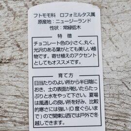 【常緑低木】ロフォミルタスキャサリン【カラーリーフトリカラー寄せ植え地植え】
