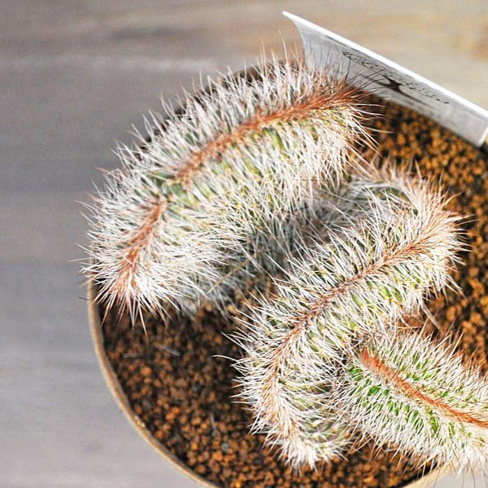 【サボテン】【多肉植物】【アインシュタインの脳】【脳みそサボテン】クライストカクタス綴化