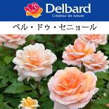 【バラ苗】デルバールベル・ドゥ・セニョール大苗7号鉢アプリコットNEW