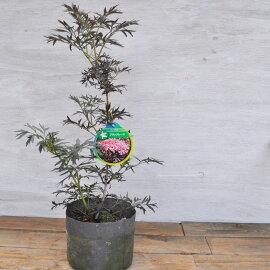 【常緑低木】サンブカスブラックレース(西洋ニワトコ)