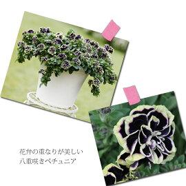 【新品種】【花苗】ペチュニア花衣〜はなごろも〜黒真珠