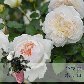 【バラ苗】京成バラ園メイアンボレロ大苗