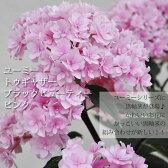 【花鉢】アジサイ トゥギャザーブラックビューティー ピンク (ユーミーシリーズ)