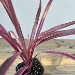 【常緑低木】【観葉植物】【希少】コルジリネサウザンススプレンダー
