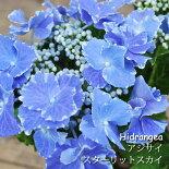 【花鉢】アジサイハイドランジアスターリットスカイ