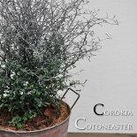 【観葉植物】【常緑低木】コロキアコトネアスター缶鉢入り