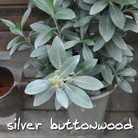 【常緑低木】シルバーボタンウッド