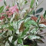 【常緑低木】【斑入り】南天トワイライト人気の矮性種5号POT