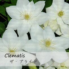 クレマチス【苗】パテンスザ・ブライド白系
