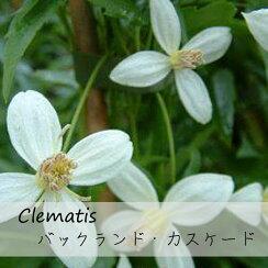 クレマチス【苗】オリエンタリスバックランドカスケード白系