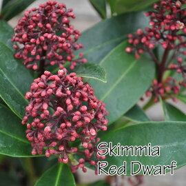 【常緑低木】スキミアレッドドワーフSukimmia'RedDwarf'4号