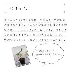 秋植えキュウリの苗実生苗1POT