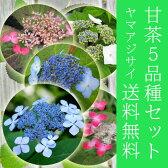 甘茶 苗 5品種セット ヤマアジサイ 茶花にも 白 紅 青斑入り 大甘茶 【送料無料】