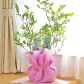 実付きブルーベリー苗のギフト サザンハイブッシュ系2品種ミックスギフト【送料無料】