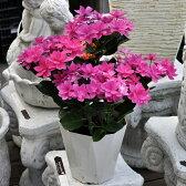ダンスパーティ ハッピー アジサイ ハイドランジア【珍しい植木】【花終わり特価】