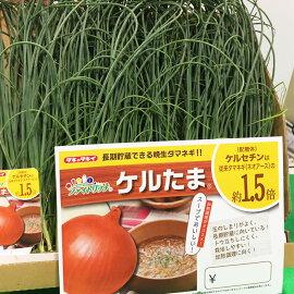 【予約苗】玉ねぎタマネギ苗ケルたまエスエス苗5レーン約200本