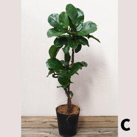 【観葉植物】【コンパクト】フィカスバンビーノ6号現品