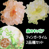 フィンガーライム苗 2品種セット ピンク(レッド) グリーン 12cmPOT