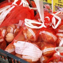 【予約販売】【球根】【秋植え】プレミアムチューリップネグリジェ5球セット