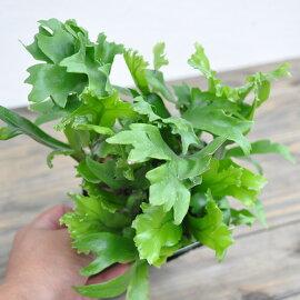 ミクロソリウムシダ観葉植物水生植物