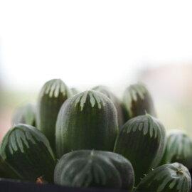 【多肉植物】ハオルチア紫オブツーサ9cm角POT
