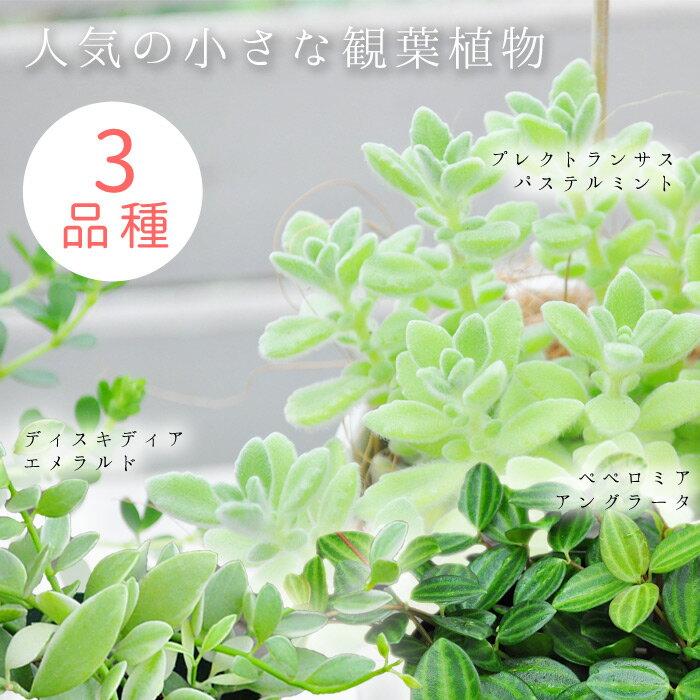 人気の観葉植物 3種類セット【初心者OK】楽天市場でも人気の観葉植物を3種類セットに!