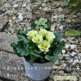 【プリムラ】プリムラジュリアンバラ咲き八重咲き4POTセット選べる5色【苗】