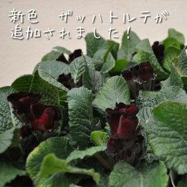 【予約販売】【プリムラ】プリムラジュリアンバラ咲き八重咲き4POTセット選べる5色【苗】