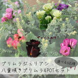 【プリムラ】プリムラジュリアンバラ咲き八重咲き4POTセット【苗】