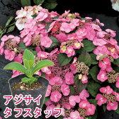 タフスタッフ ヤマアジサイ 15cmPOT苗 【おすすめ】