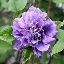 クレマチス 苗 パテンス系 円空(えんくう) 紫 八重 2年生苗