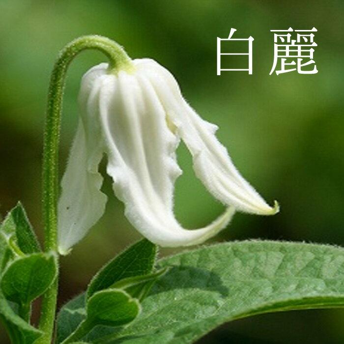 【2018年秋予約】クレマチス 苗 インテグリフォリア 白麗 白系