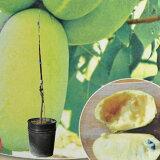 ジャンボポポーの苗 接木苗 品種マンゴー 5号黒POT 高さ約60センチ程 落葉果樹苗