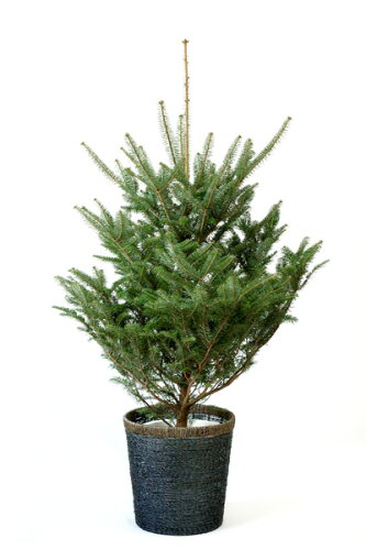 もみの木 140cm以上 10号 鉢植え 本物 クリスマス ツリー モミの木、樅の木、モミノキ 苗