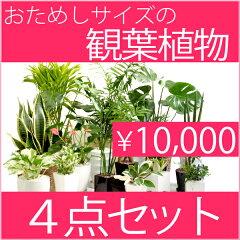 送料無料・福袋☆選べる4点観葉植物お試しセット★育てやすい人気植物を選べるセットにしました...