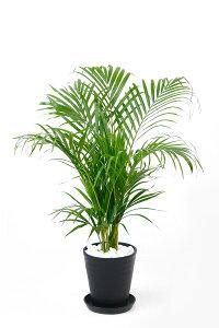 観葉植物 アレカヤシ セラアート鉢 6号鉢 大型 インテリア 開店祝い お祝い 新築祝い ブラック ホワイト セラート鉢