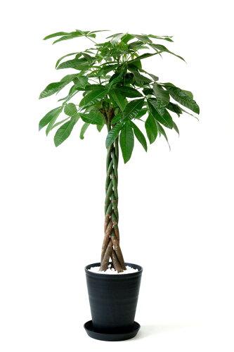 観葉植物 パキラ 10号 セラアート鉢 大型 インテリア 開店祝い お祝い 新築祝い 観葉植物 パキラ