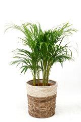 観葉植物 アレカヤシ 8号 鉢カバー付 新築祝い 開店祝い ヤシの木 大型