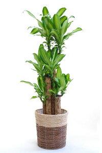 送料無料 観葉植物、鉢カバー付の幸福の木 優しい葉っぱをプレゼント・お祝い・法人ギフトに。...