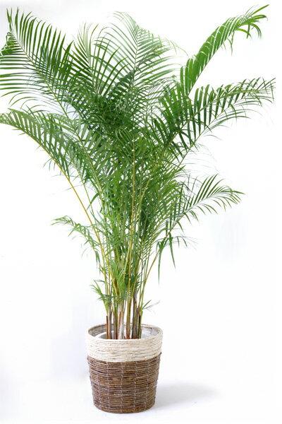 観葉植物アレカヤシ ヤシの木 10号 鉢カバー付 大型 観葉植物 引越し祝い 新築祝い 開店祝い インテリア 敬老の日