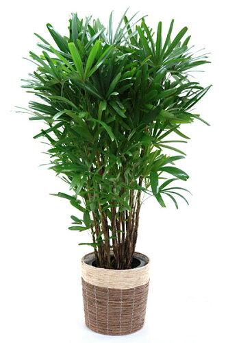 カンノンチク 観音竹 10号 鉢カバー付 大型 観葉植物 インテリア アジアン 観葉植物