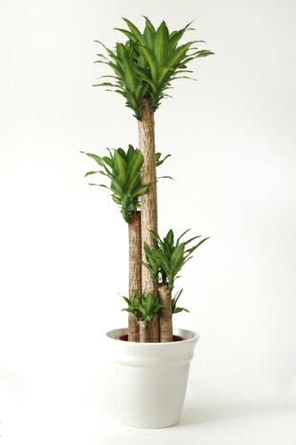 幸福の木 10号 陶器カバー付 大型 観葉植物 幸福の木 インテリア 引越し祝い 開店祝い 新築祝い お...
