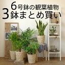 送料無料 観葉植物 3点セット 6号鉢 大型 インテリア 新築祝い お...